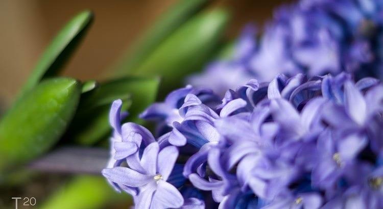 Paarse Hyacinth
