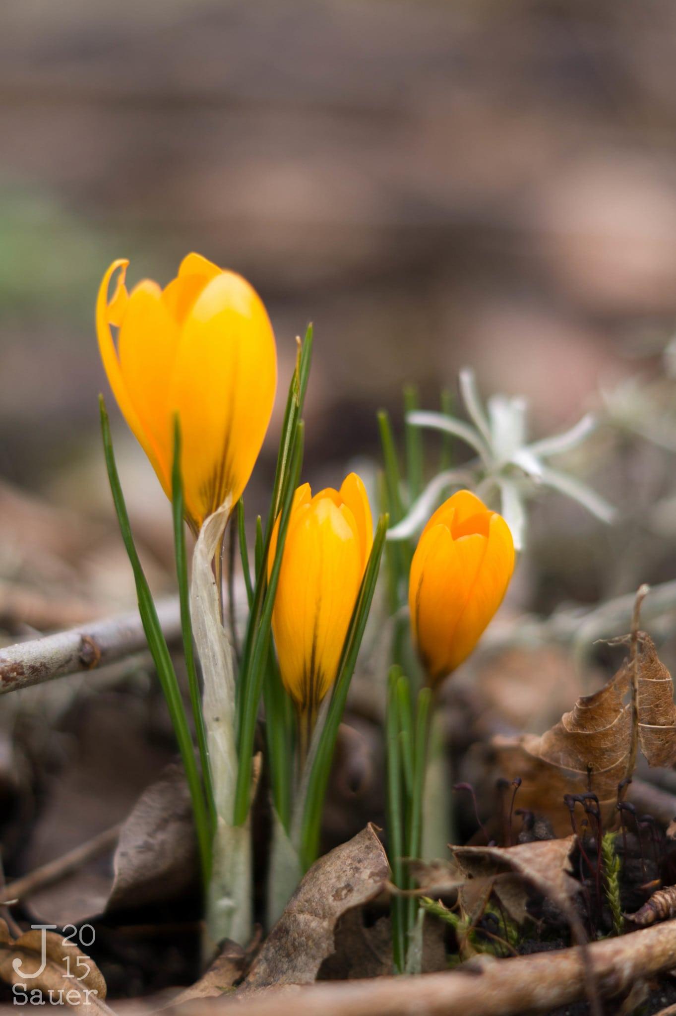 Gele krokussen tussen de bruine bladeren