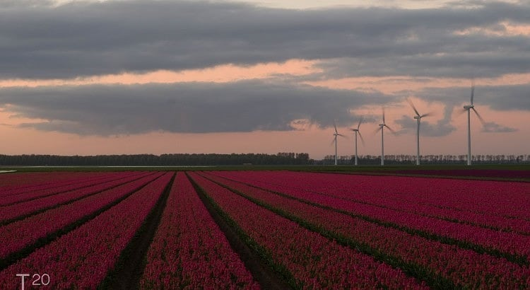 sunrise tulips flevoland