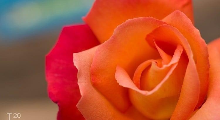 Gradient rose