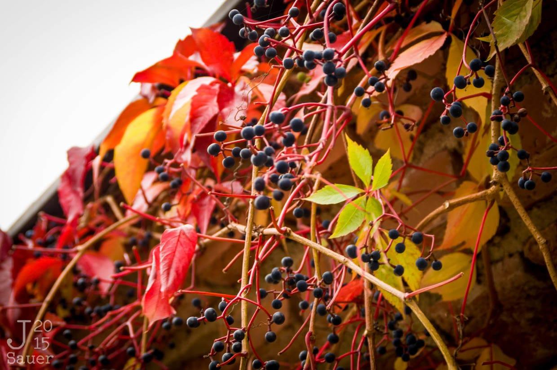 Blauwe bessen in de herfst