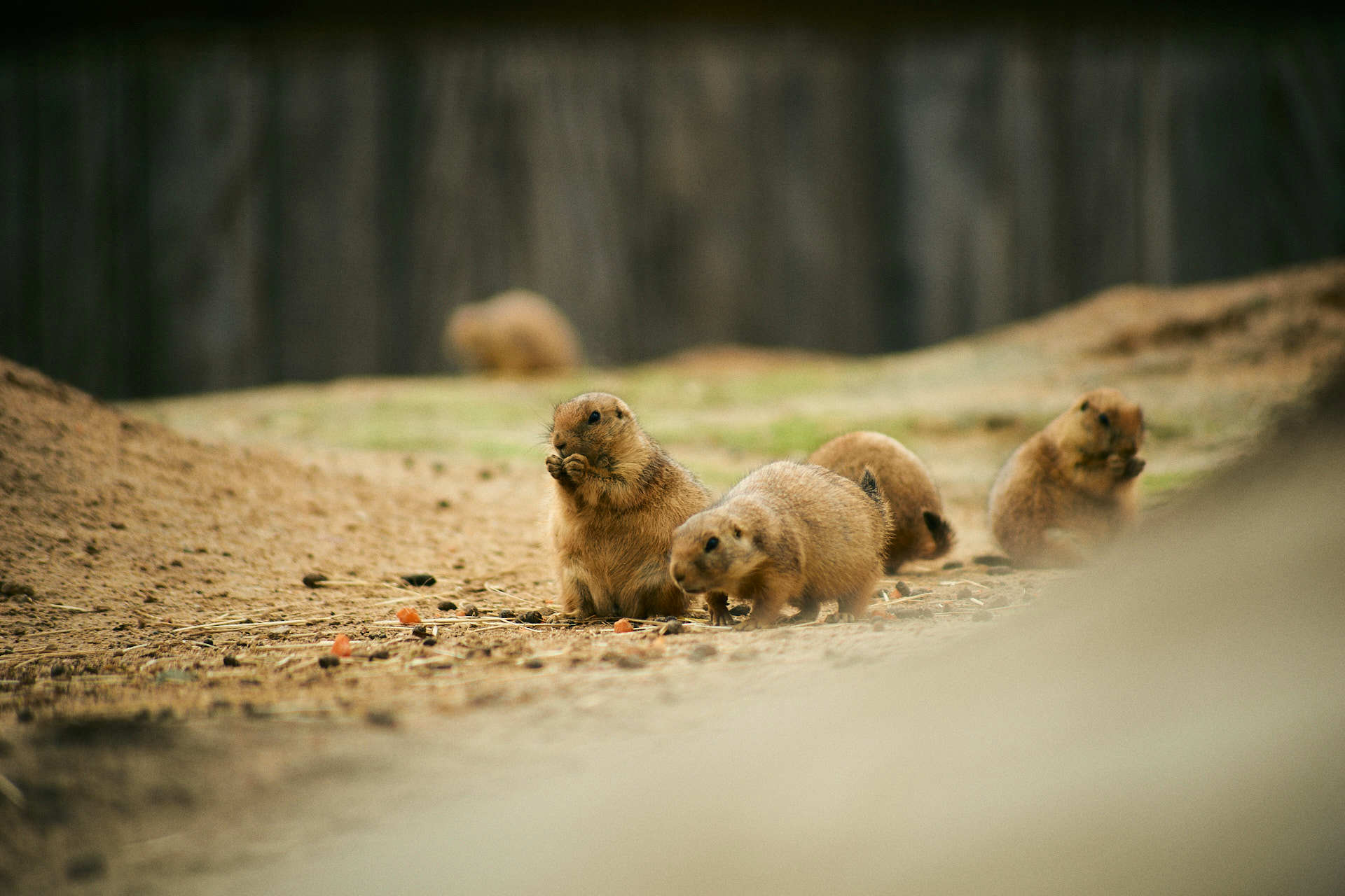 Wildlands Prairiehonden