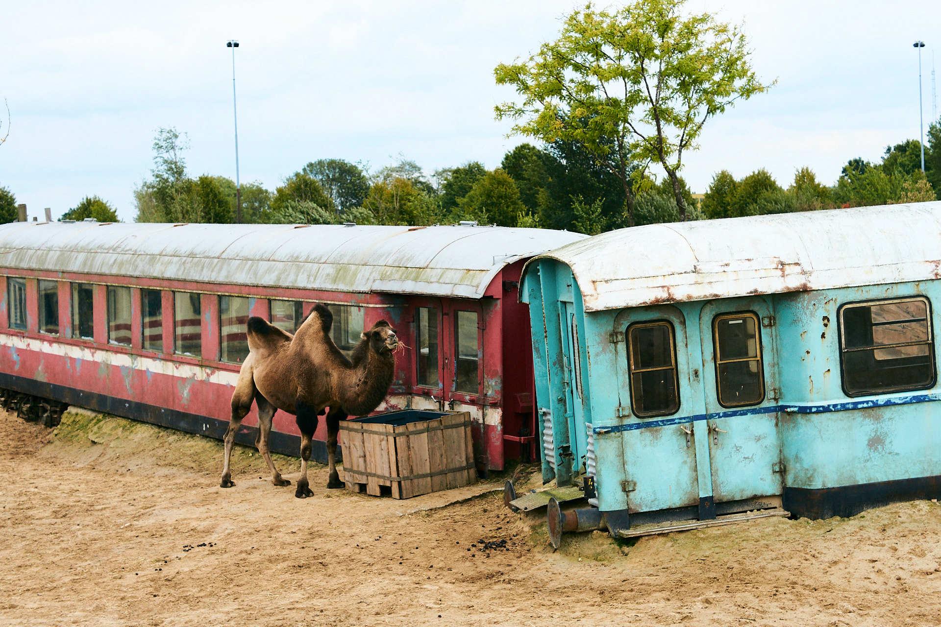 Wildlands kameel